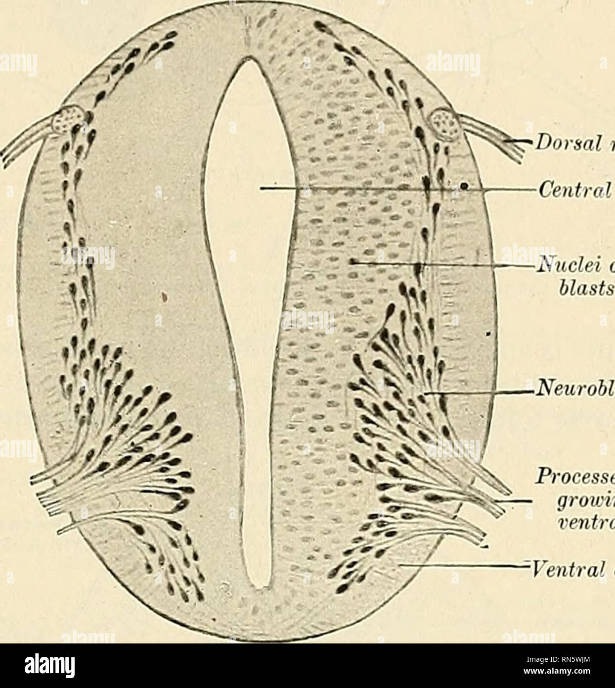 Anatomy Descriptive And Applied Anatomy The Spinal Cord 825 Filum Ifilum Terminale The Delicate Terminal Thread Called The Filum Contin Uous With The Tapered End Of The Conus Is About 24 The filum terminale internum is. https www alamy com anatomy descriptive and applied anatomy the spinal cord 825 filum ifilum terminale the delicate terminal thread called the filum contin uous with the tapered end of the conus is about 24 cm 10 inches in length as far as the level of the second sacral vertebral segment it is enclosed together with the cauda equina in the tapering sheath of the dura within the dural sac it is called the filum internum in contradistinction to the filum externum which is an attenuated process of connective and glia tissue closely invested by a prolonga tion of the dura which finally attaches image236772444 html