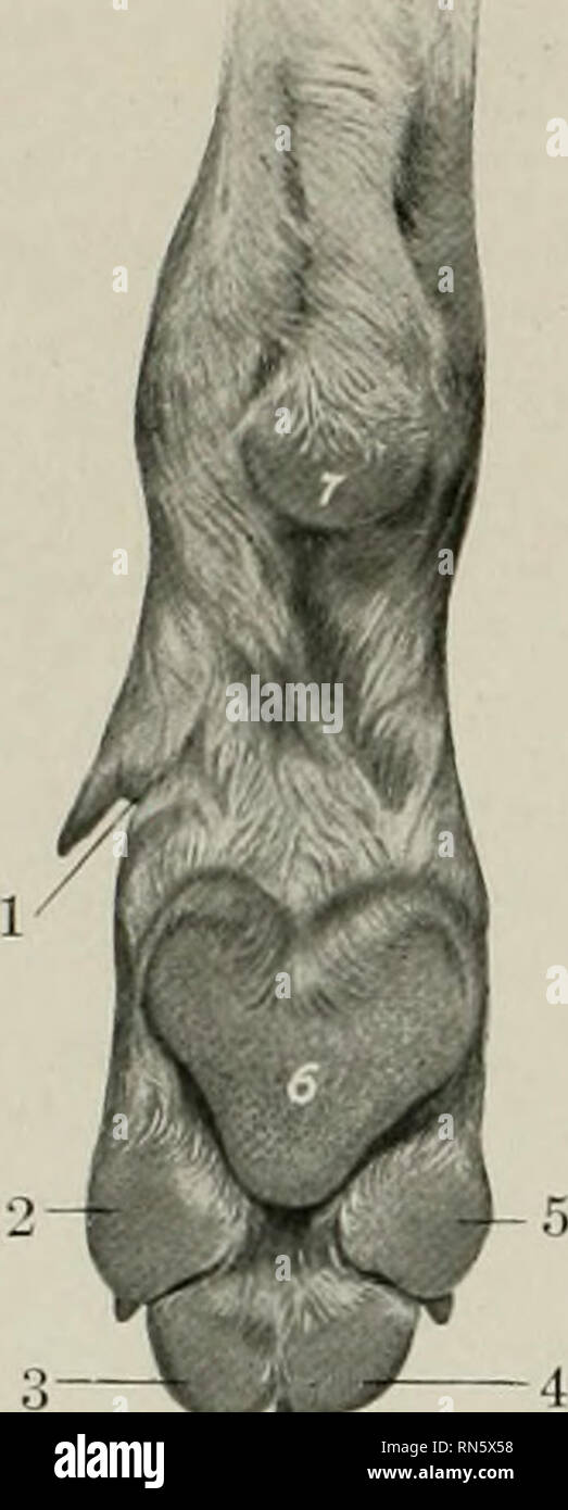 . The anatomy of the domestic animals. Veterinary anatomy. 904 THE SENSE ORGANS AND COMMON INTEGUMENT OF THE DOG at the distal end of the corresponding second phalanx. The pads have a basis of fibro-elastic tissue and fat, which is intimately adherent to the skin and is connected by trabeculse with the bones and tendons. The epidermis is thick and largely keratinized, and is studded with numerous rounded papillae which are readily seen. Please note that these images are extracted from scanned page images that may have been digitally enhanced for readability - coloration and appearance of these - Stock Image
