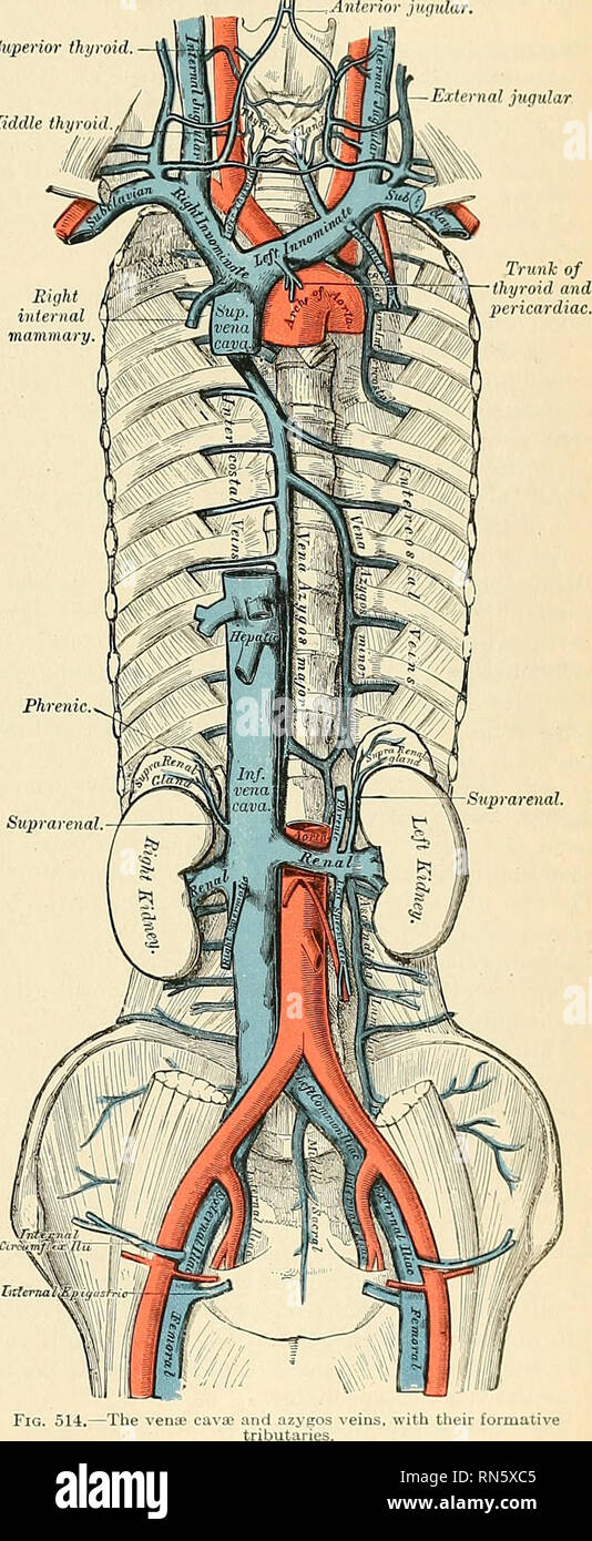 Anatomy Descriptive And Applied Anatomy The Deep Veins Of The
