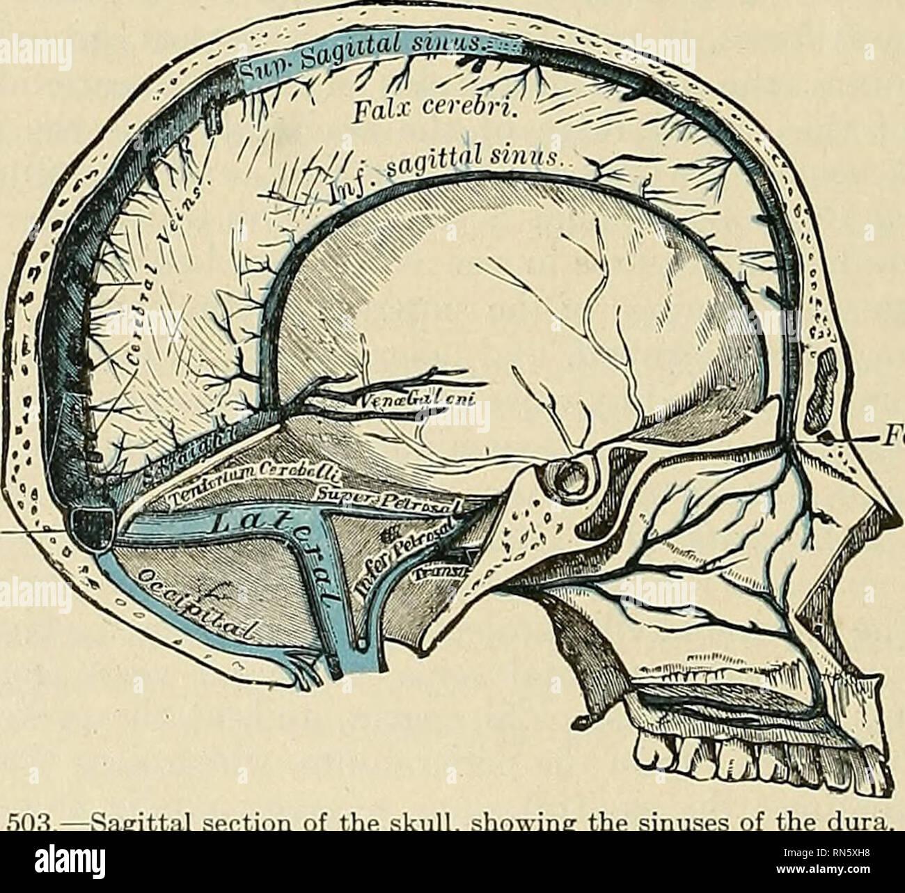Anatomy Descriptive And Applied Anatomy Fig 502coronal I Ction