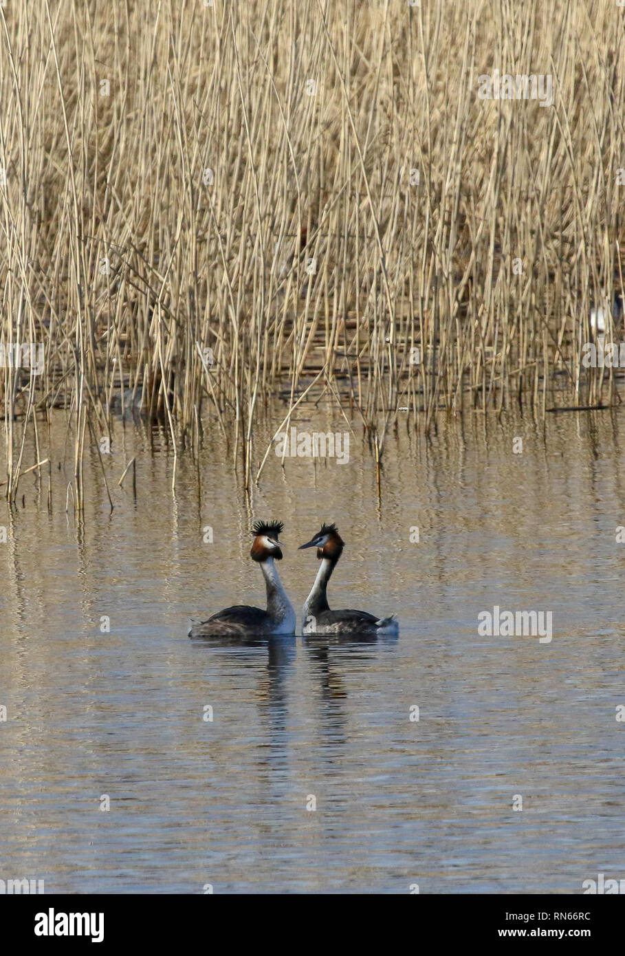 Oxford Island, Lough Neagh, Northern Ireland. 17 February 2019. UK weather - long sunny spells this afternoon on a spring-like day despite the strong breeze. The good weather saw plenty of people out making the most of the weekend. Courting weather for great-crested grebes. Credit: David Hunter/Alamy Live News. - Stock Image
