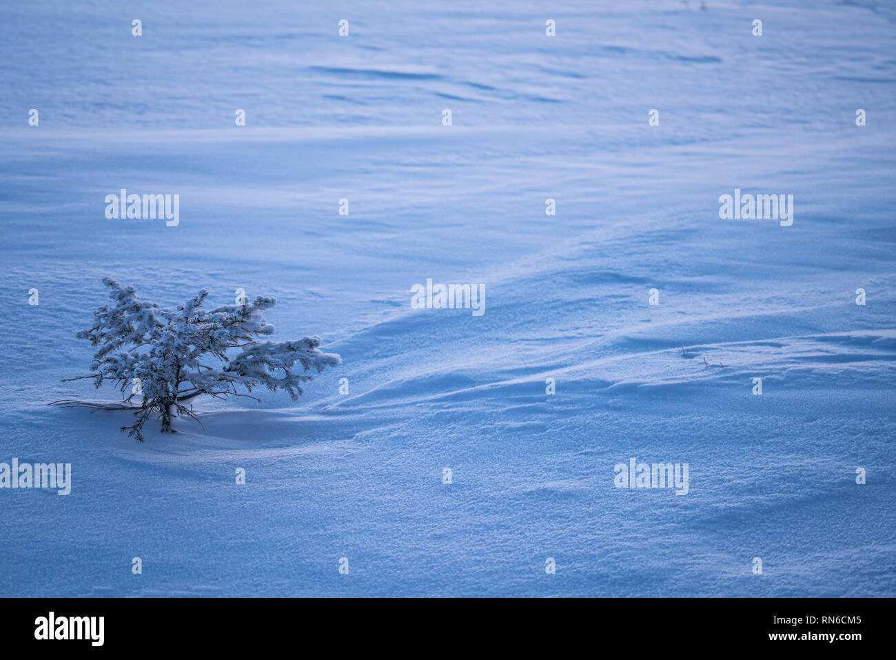 Little spruce tree sapling and snow detail at winter with copy space. For background usage - Stock Image