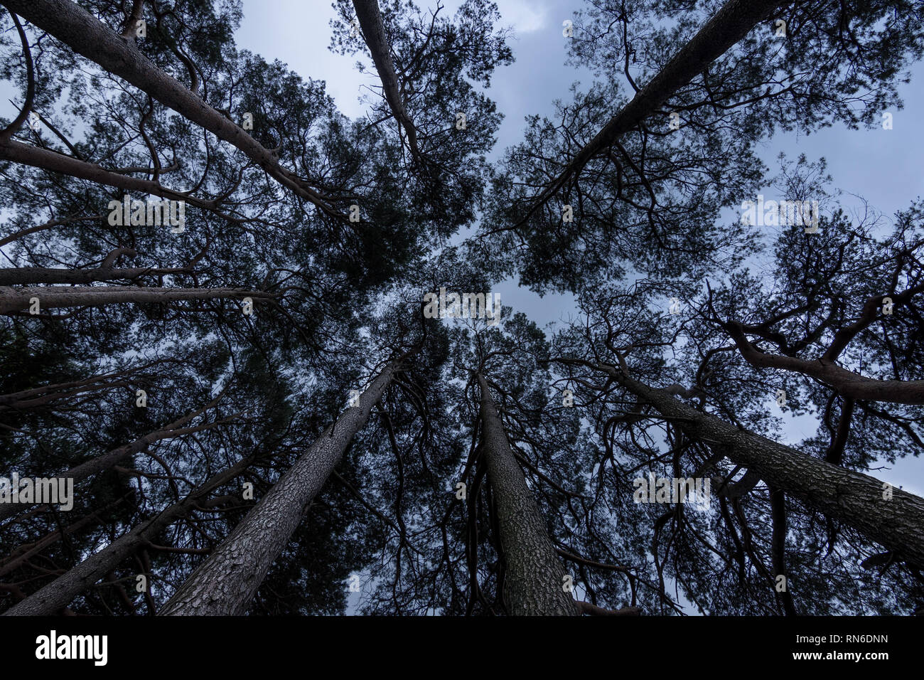 Tall straight narrow trees tower in to a cloudy dull sky. - Stock Image