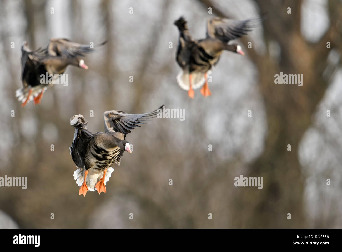Greater White-fronted Geese / Blaessgaense ( Anser albifrons ), little flock in flight, landing in front of pollarded willows, typical background, wil - Stock Image