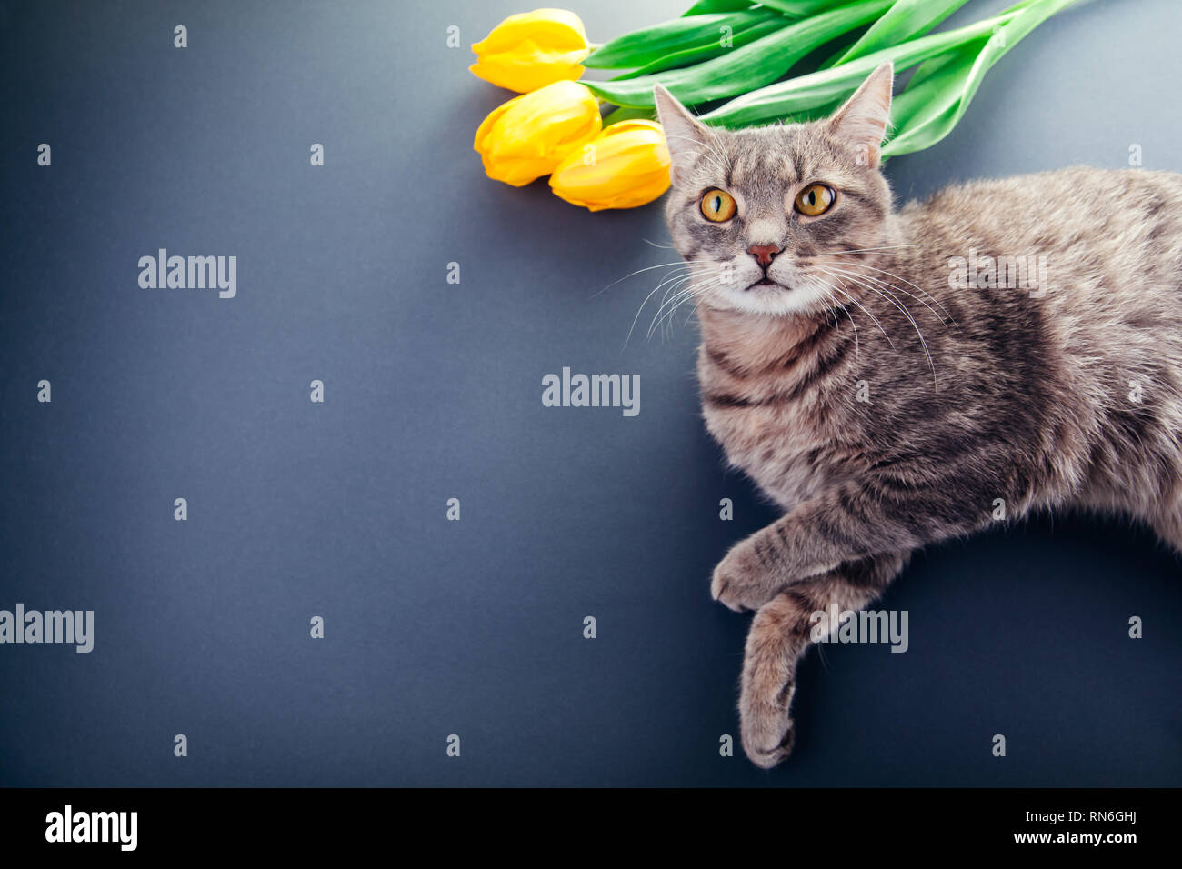 Women's day greeting card. Grey cat lying by yellow tulips. Copy space - Stock Image
