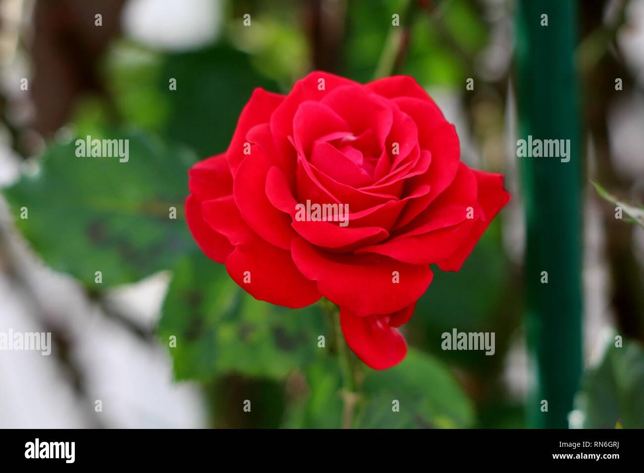 Blood red rose with beautiful multi layered thick petals fully open and blooming in local garden surrounded with dark green leaves on warm summer day - Stock Image
