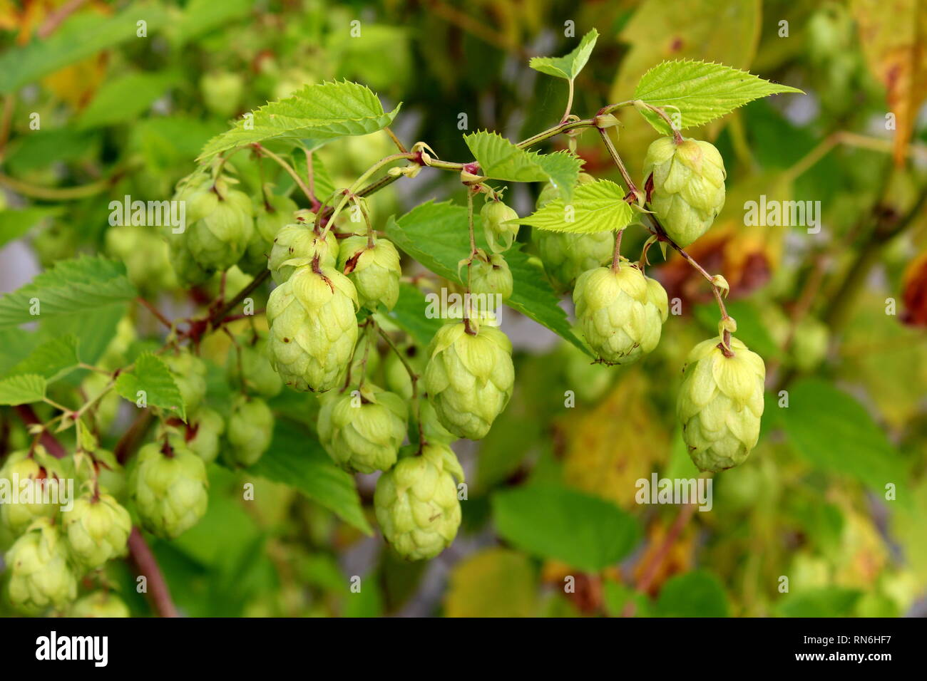 Common hop or Humulus lupulus or Hops dioecious perennial herbaceous climbing flowering bine plant with multiple light hops on single branch - Stock Image