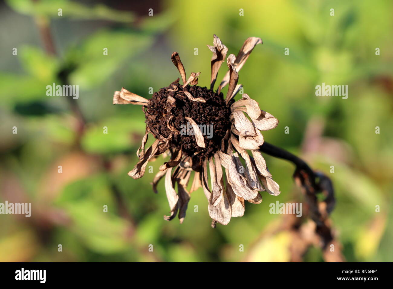 Dry and withered Zinnia plant with completely dried flower and multi layered petals surrounded with green leaves and other garden plants in background - Stock Image