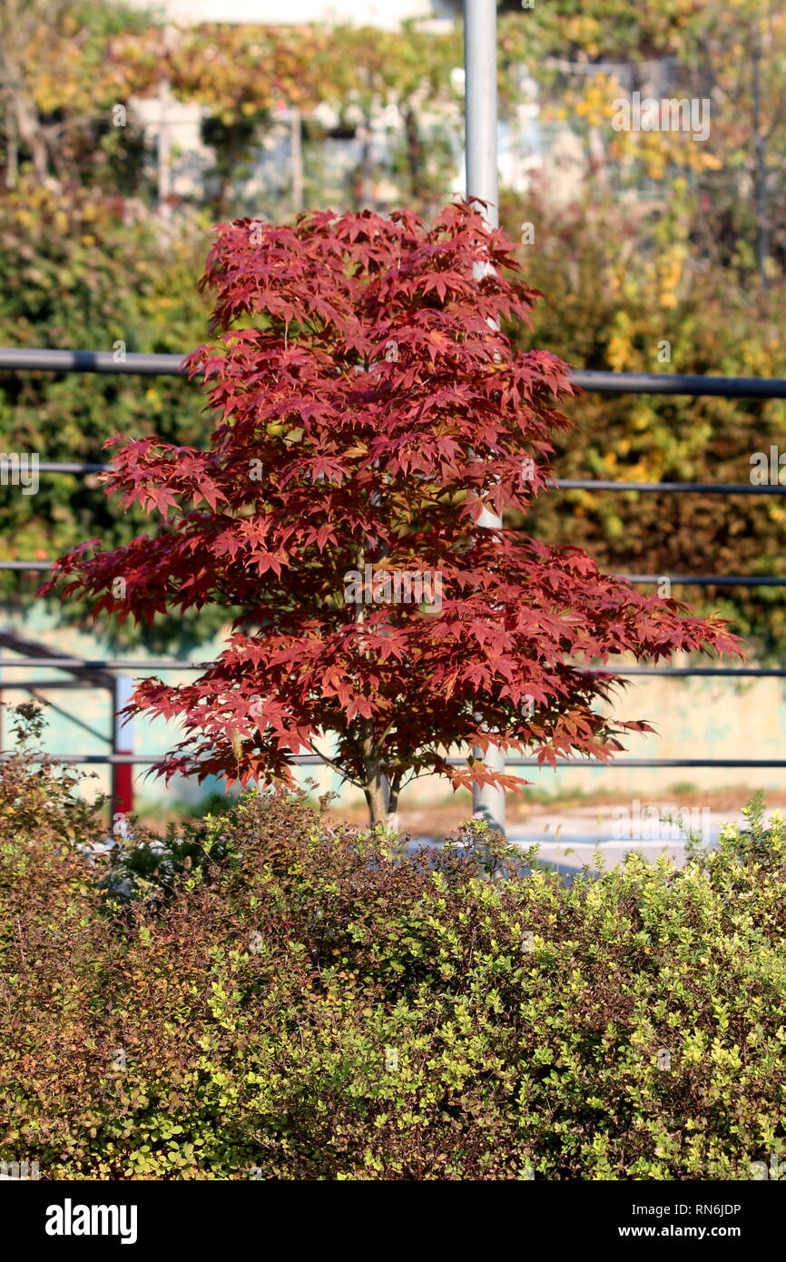 Japanese Red Maple Or Acer Palmatum Or Palmate Maple Or Smooth