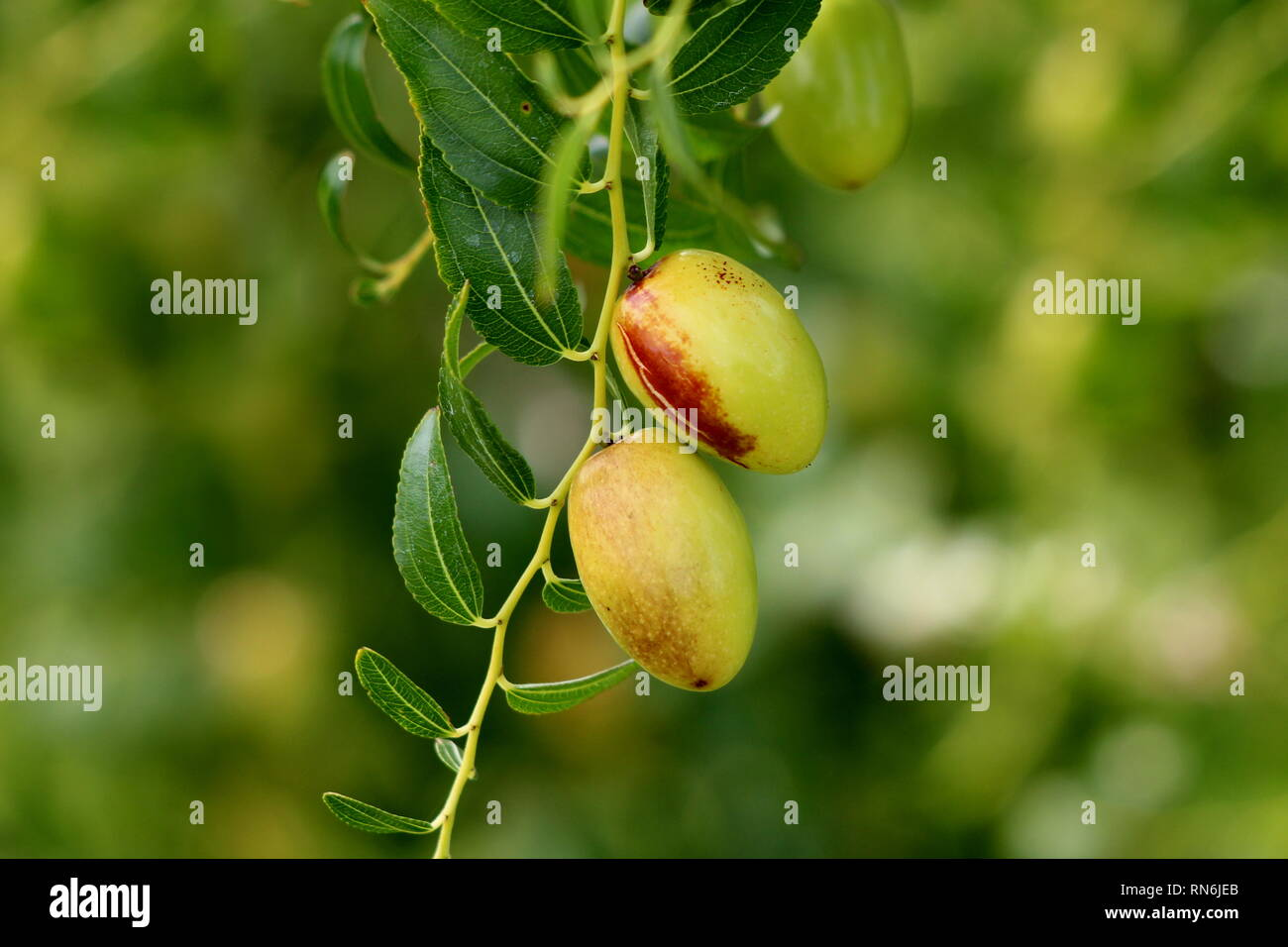 Jujube small deciduous tree with shiny green ovate acute leaves with three conspicuous veins at the base and a finely toothed margin - Stock Image