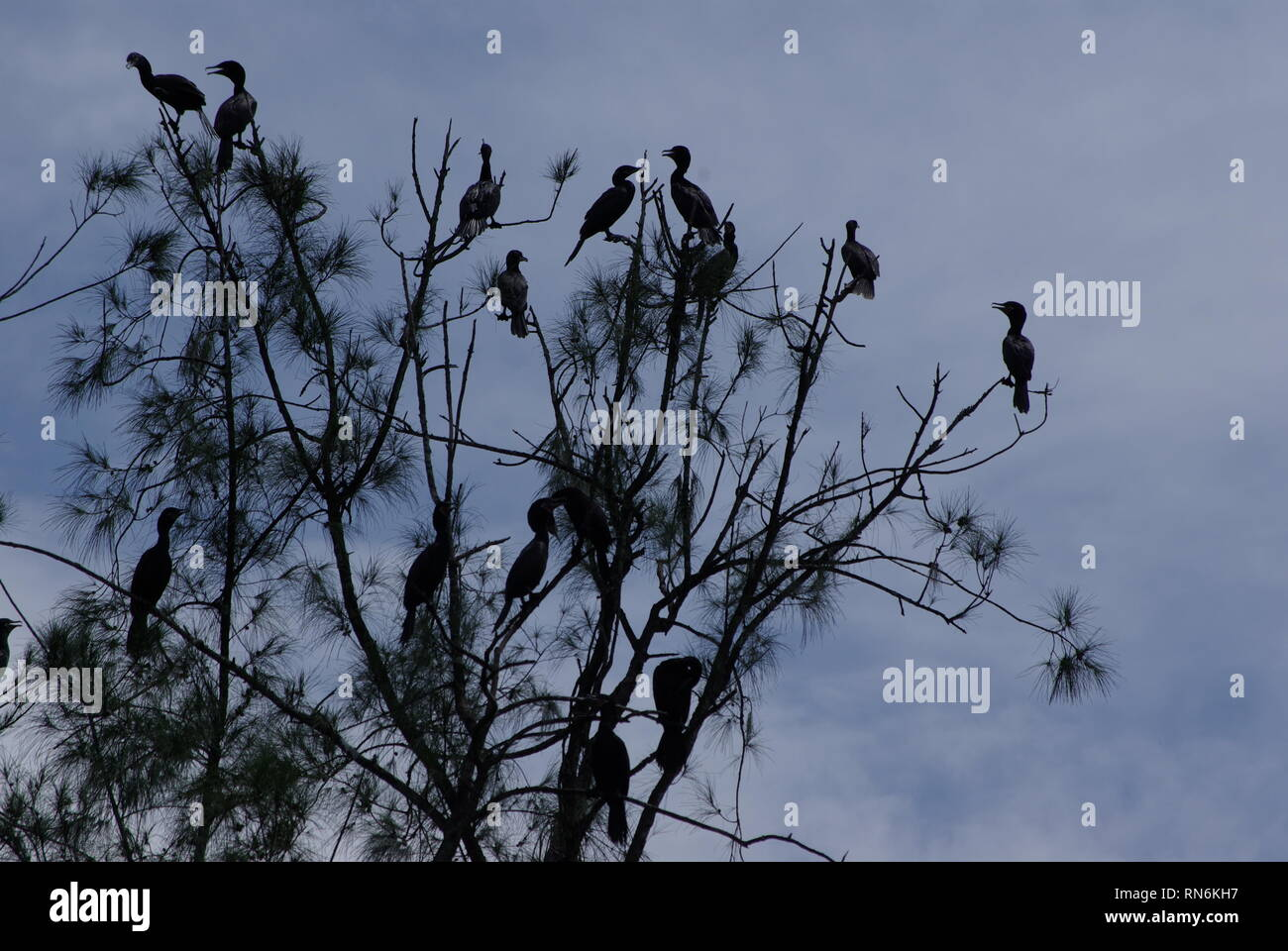 Great cormorants sitting in atree - Stock Image