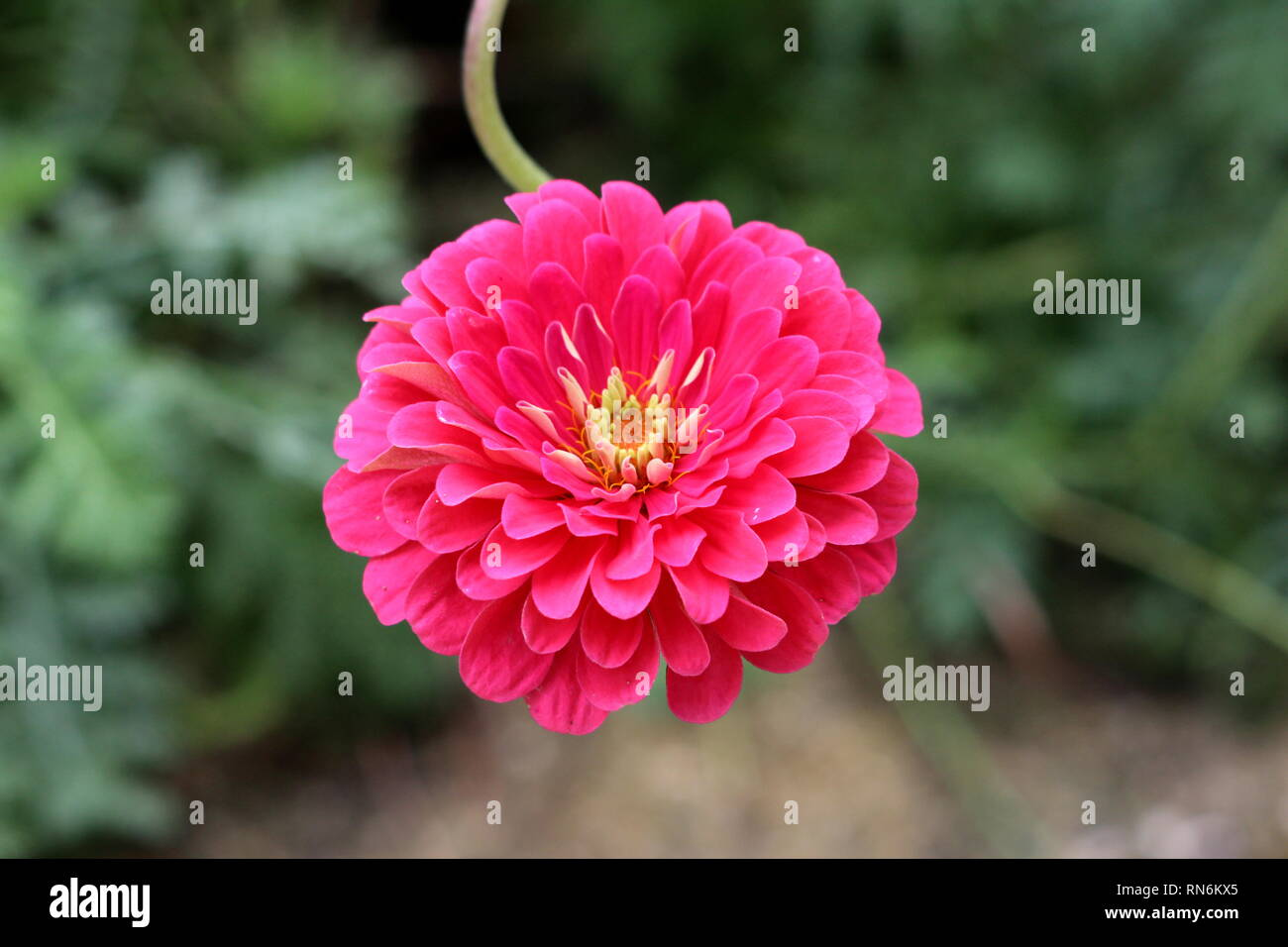 Perfectly symmetrical Zinnia flower with fully open blooming multi layered pink petals with white center surrounded with green leaves in local garden - Stock Image