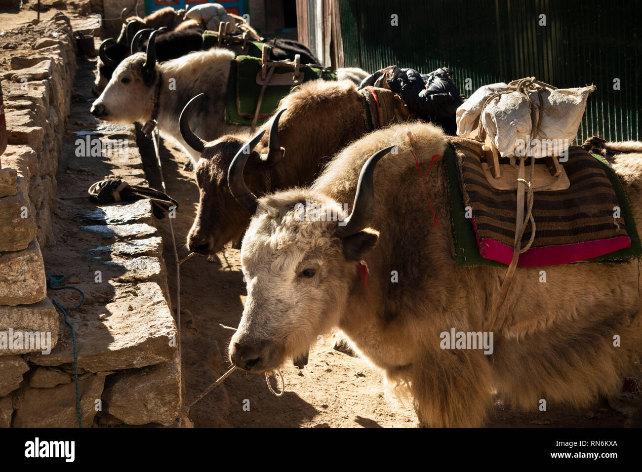 Nepal, Namche Bazaar, Market, Yaks used as pack animals to transport goods in mountainous Khumbu region - Stock Image