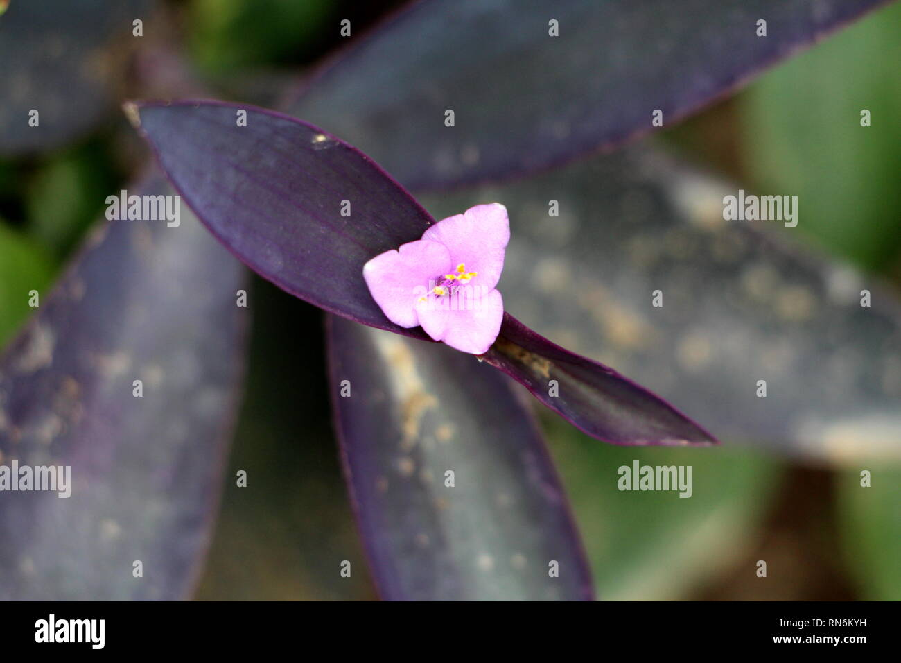 Purple heart or Tradescantia pallida or Wandering jew or Walking jew or Purple secretia or Purple queen evergreen perennial plant - Stock Image