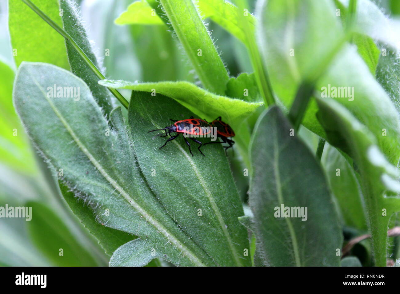 Two small red bugs with black spots on top of hairy thick dark green leaves in local garden on warm sunny day - Stock Image