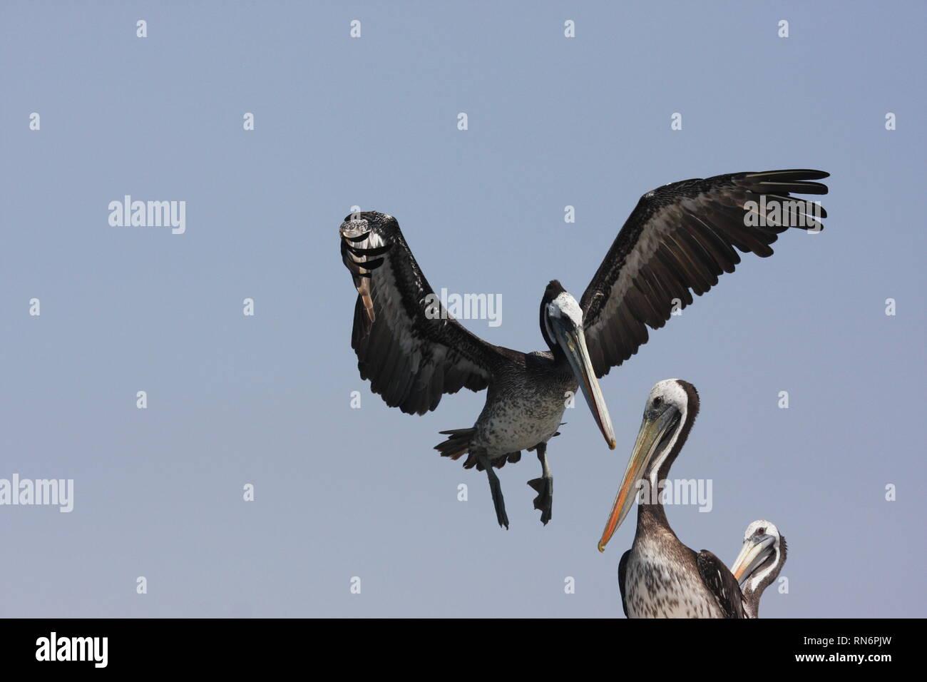 Peruvian pelicans (Pelecanus thagus) in Paracas Nature Reserve, Peru Stock Photo