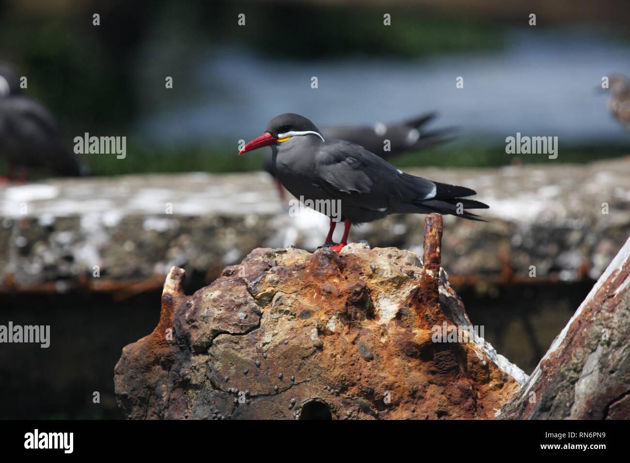 Inca tern (Larosterna inca) in Paracas National Reserve, Peru Stock Photo