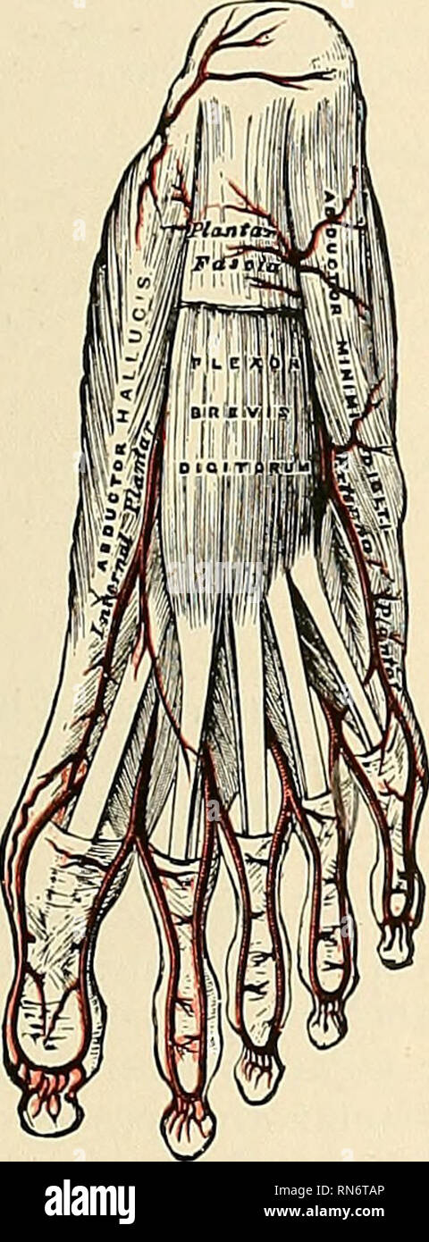 . Anatomy, descriptive and applied. Anatomy. THE POSTERIOR TIBIAL ARTERY 703 nutrient canal of that bone, which it traverses obliquely from above downward. This is the largest nutrient artery of bone in the body. The muscular branches of the posterior tibial are distributed to the Soleus and deep muscles along the back of the leg. The communicating branch (ramus communicans), to join a similar branch of the peroneal, runs transversely across the back of the tibia, about two inches above its lower end, passing beneath the Flexor longus hallucis. The malleolar or internal malleolar (a. malleolar - Stock Image