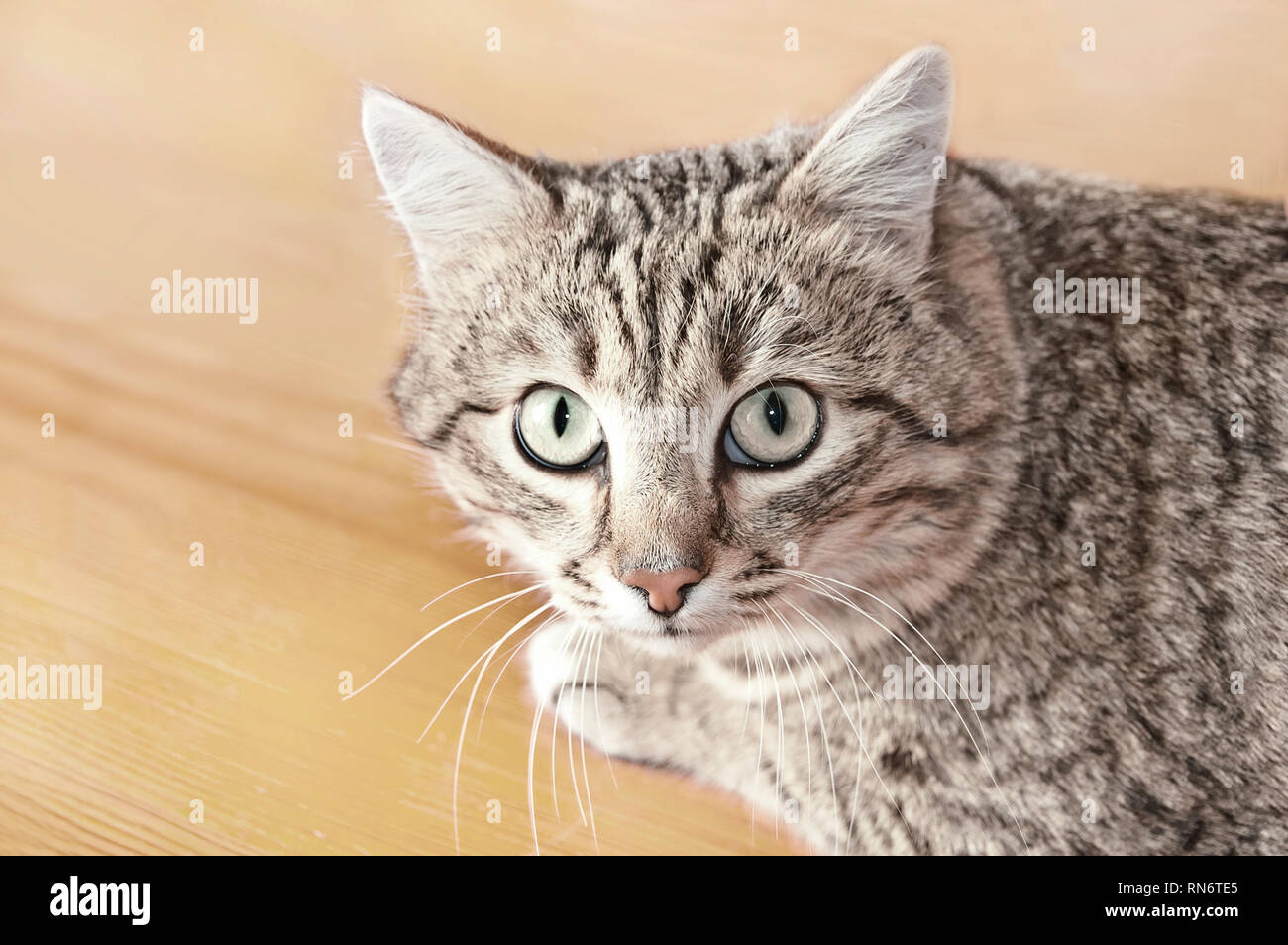 Tabby male cat looking with distrust and a little scared. Cat looks into the lens. Portrait of Tabby cat on floor background. - Stock Image