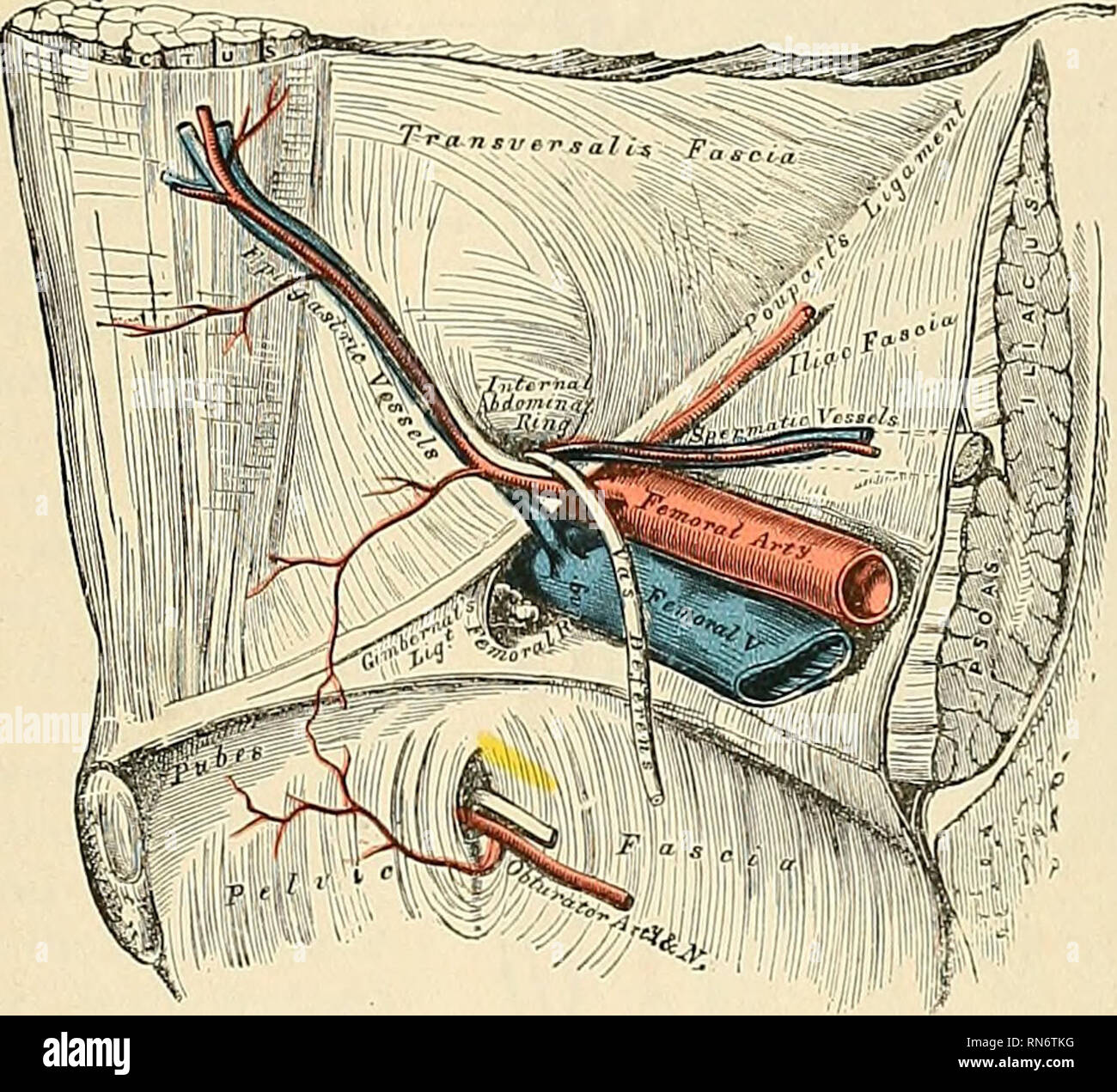 Anatomy, descriptive and applied  Anatomy  THE FEMORAL