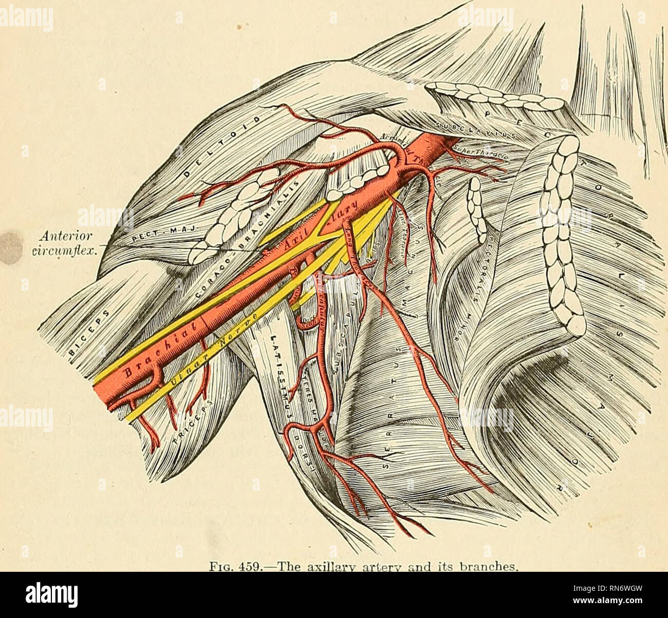 Axillary Artery Stock Photos Axillary Artery Stock Images Alamy
