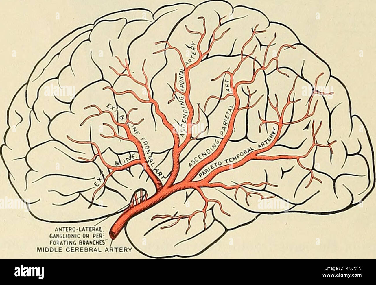 Middle Cerebral Artery Stock Photos Middle Cerebral Artery Stock