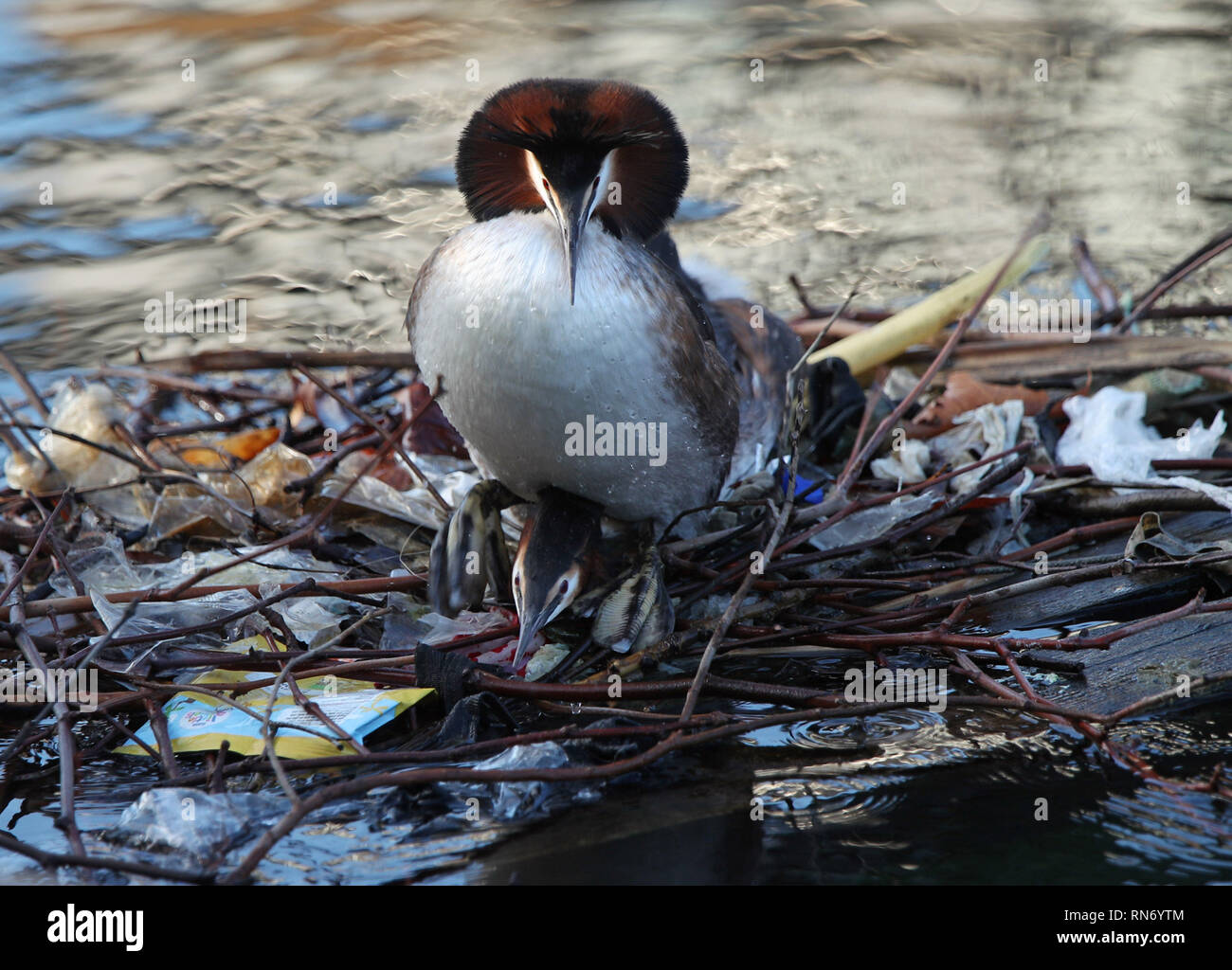 A pair of great crested grebes mating on a nest partially built from discarded litter, on the South Quay of the Isle of Dogs, east London. - Stock Image