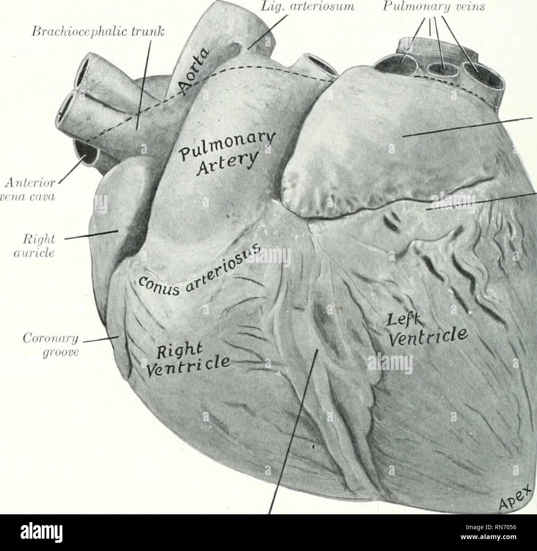 The Anatomy Of The Domestic Animals Veterinary Anatomy 618 Blood