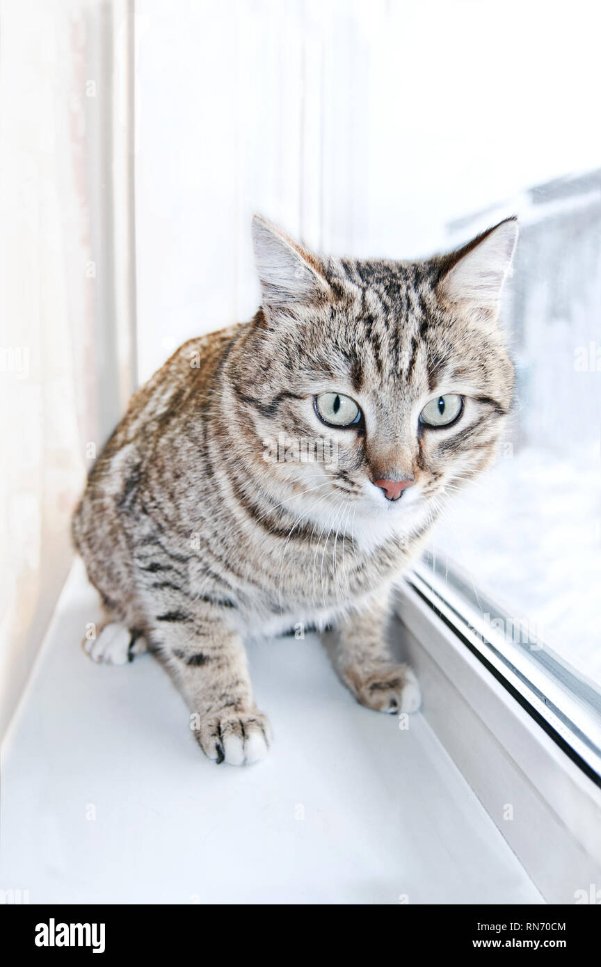 Tabby male cat looking with distrust, warily and a little scared. Cat looks into the lens. Portrait of Tabby cat in window. - Stock Image