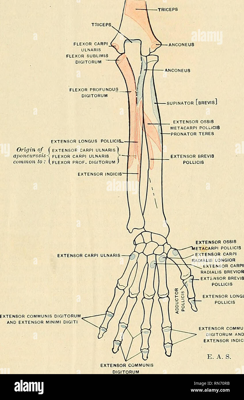 Anatomy Descriptive And Applied Anatomy The Pohteeior Radioulnar