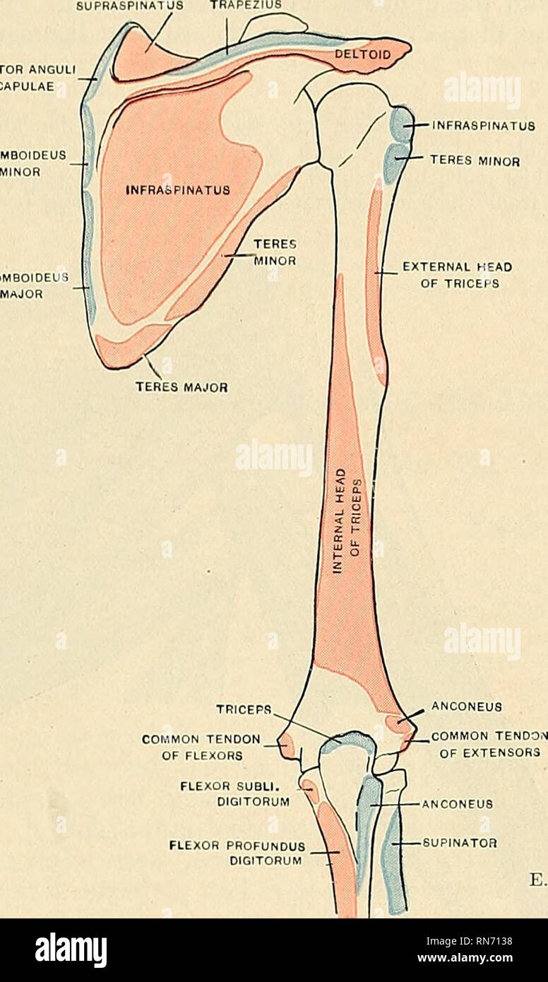 Arm Muscle Diagram Stock Photos Arm Muscle Diagram Stock Images