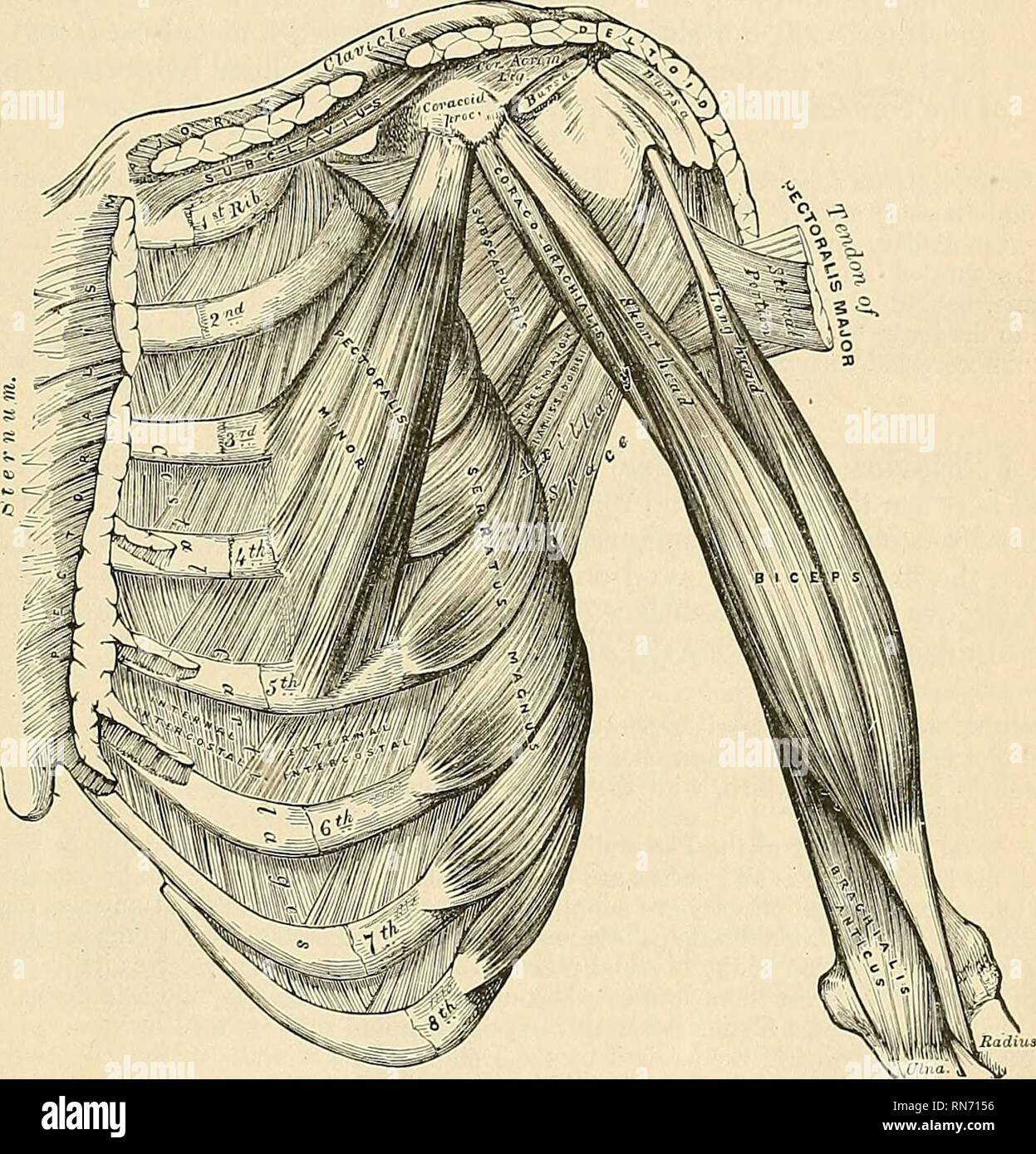 Anatomy Descriptive And Applied Anatomy The Anterior Thoracic
