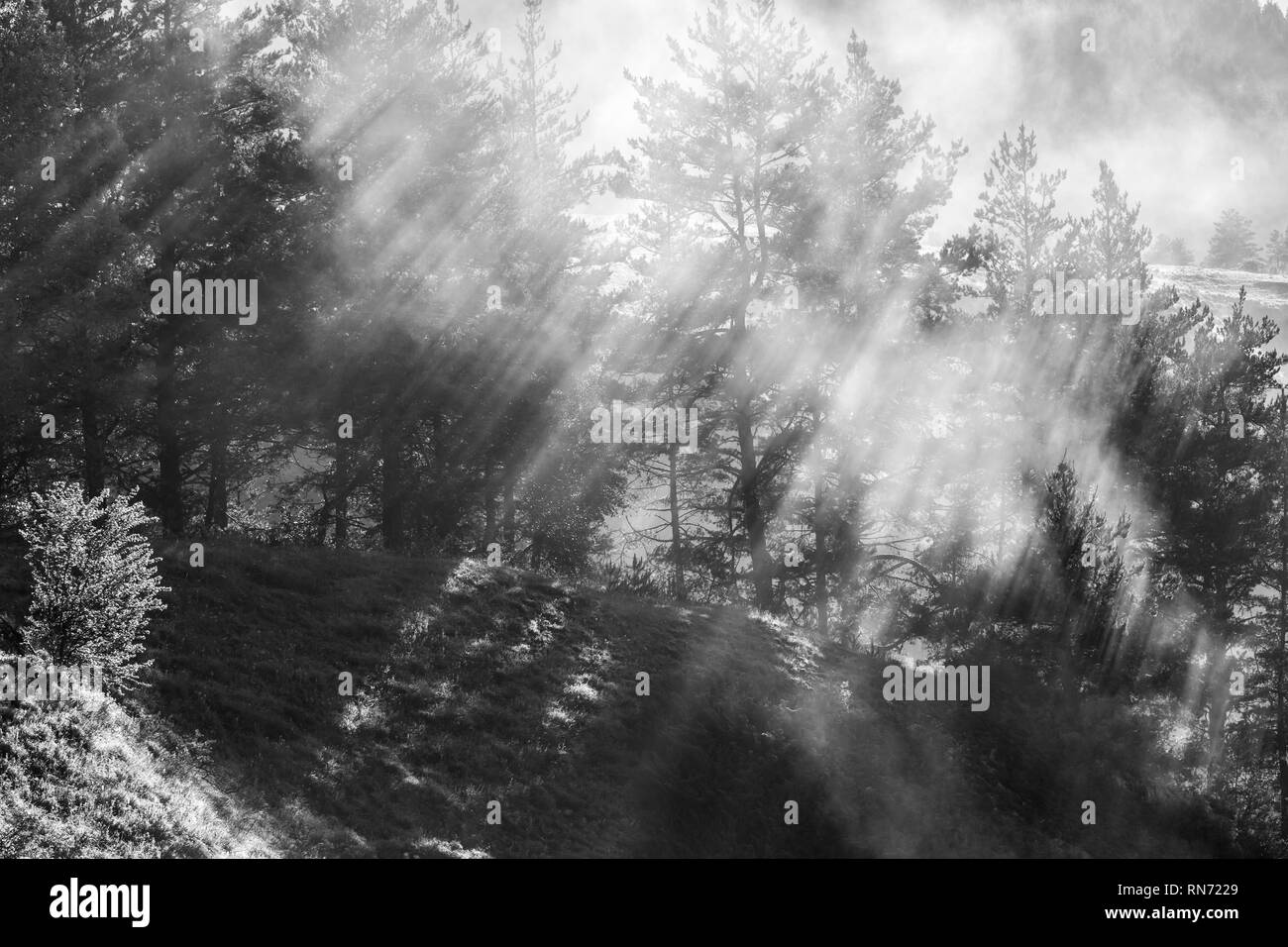 Sunbeams in the morning foggy forest. Rays breaking through the fog. - Stock Image