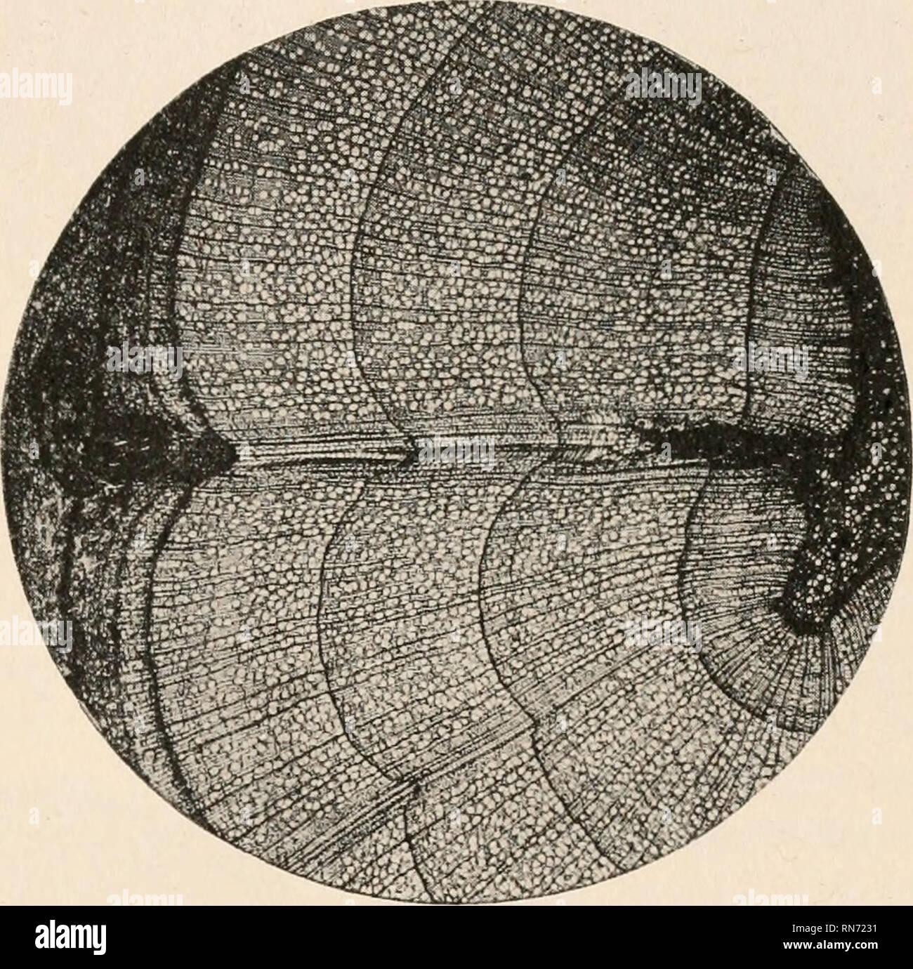The Anatomy Of Woody Plants Botany Anatomy The Stem 177 Two