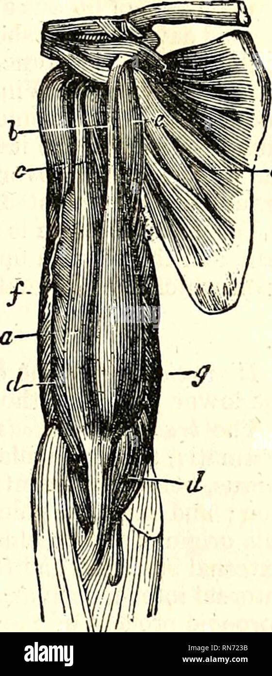 The Anatomy Of The Human Body Human Anatomy Anatomy The Biceps