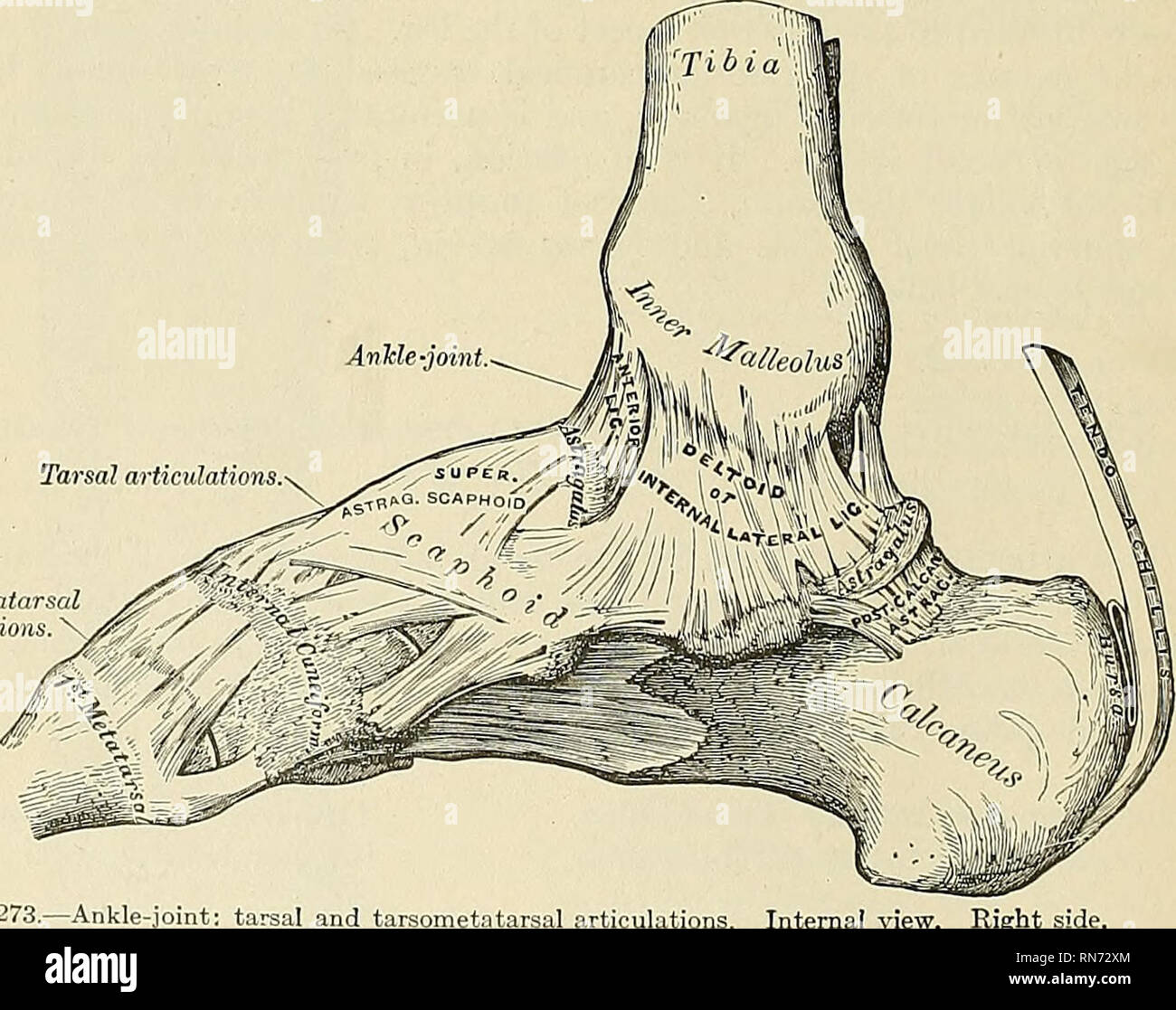 . Anatomy, descriptive and applied. Anatomy. 342 THE ARTICULATIONS, OB JOINTS The posterior inferior ligament (ligamentum malleoli lateralis posterius) (Fig. 276), smaller than the preceding, is disposed in a similar manner on the posterior surface of the articulation. The inferior transverse ligament lies under cover of the posterior ligament, and is a strong, thick band of yellowish fibres which passes transversely across the back of the joint, from the external malleolus to the posterior border of the articular surface of the tibia, almost as far as its malleolar process. This ligament proj - Stock Image