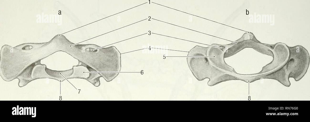 Anatomy of the woodchuck (Marmota monax)  Woodchuck