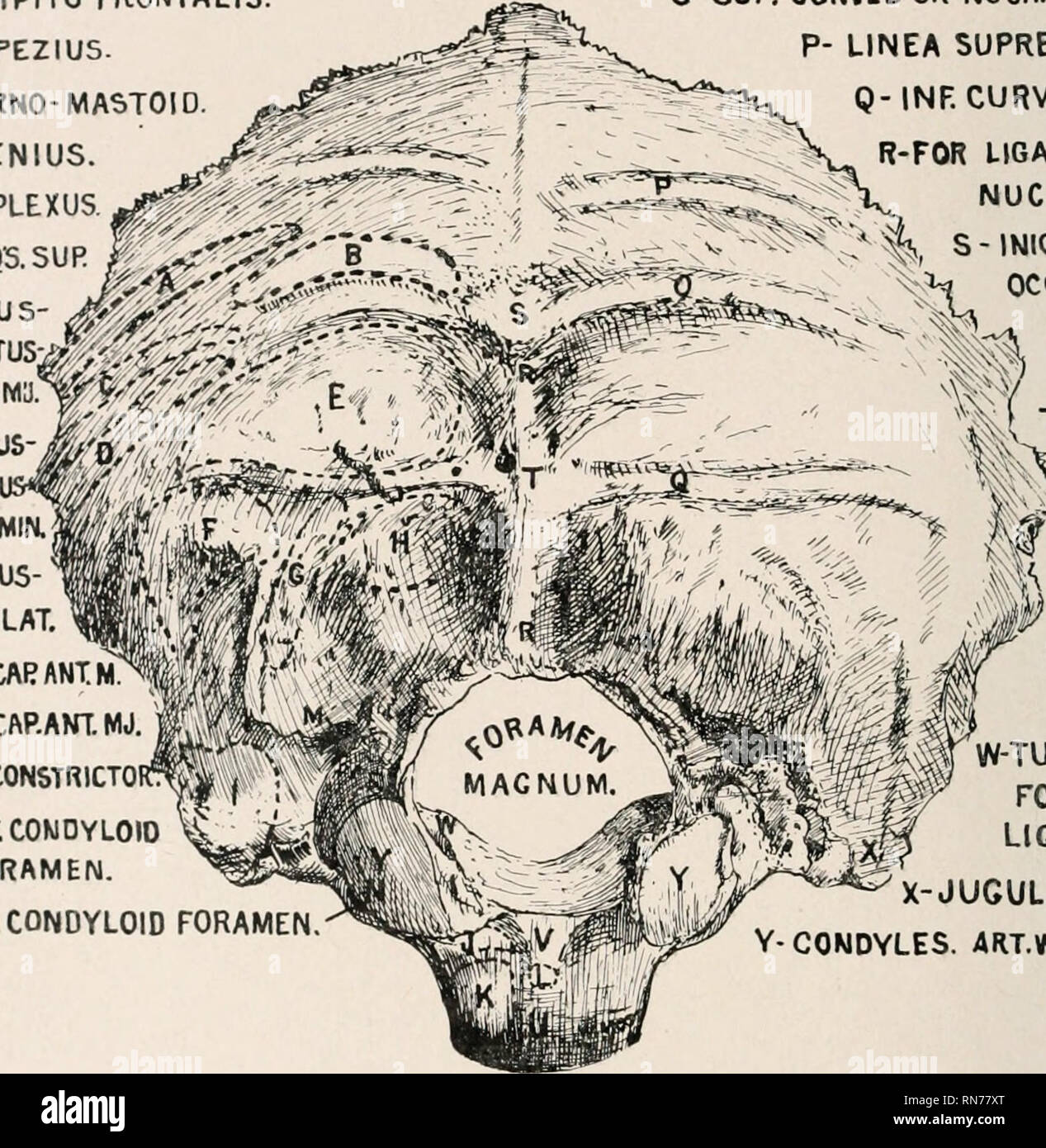 Anatomy In A Nutshell A Treatise On Human Anatomy In Its Relation