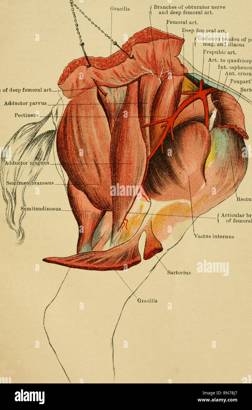 https://www alamy com/the-anatomy-of-the-horse-a-dissection-guide-horses-horses-anatomy-plate-xiii-branch-of-deep-femoral-art-adductor-parvus-pectineus-j-branches-of-obturator-nerve-and-deep-femoral-art-femoral-art-deep-femoral-art-common-tendon-of-psoas-mag-and-iliacus-prepubic-art-art-to-quadriceps-int-saphenous-nerve-ant-crural-nerve-pouparts-ligament-tori-us-kectus-femoris-articular-branch-of-femoral-art-drawn-amp-ufeograpteiv-a-a-k-johnston-iwted-eainbursh-thighinner-aspect-please-note-that-these-images-are-extracted-from-scanned-page-images-that-may-have-been-digitally-en-image236803007 html
