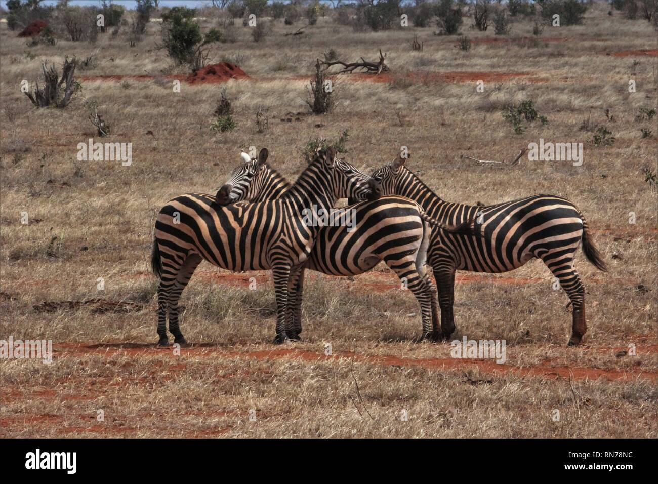 Mutual skin-cleaning of Grant Zebras in the laterite-red savannah of Tsavo East National Park, Kenya. - Stock Image