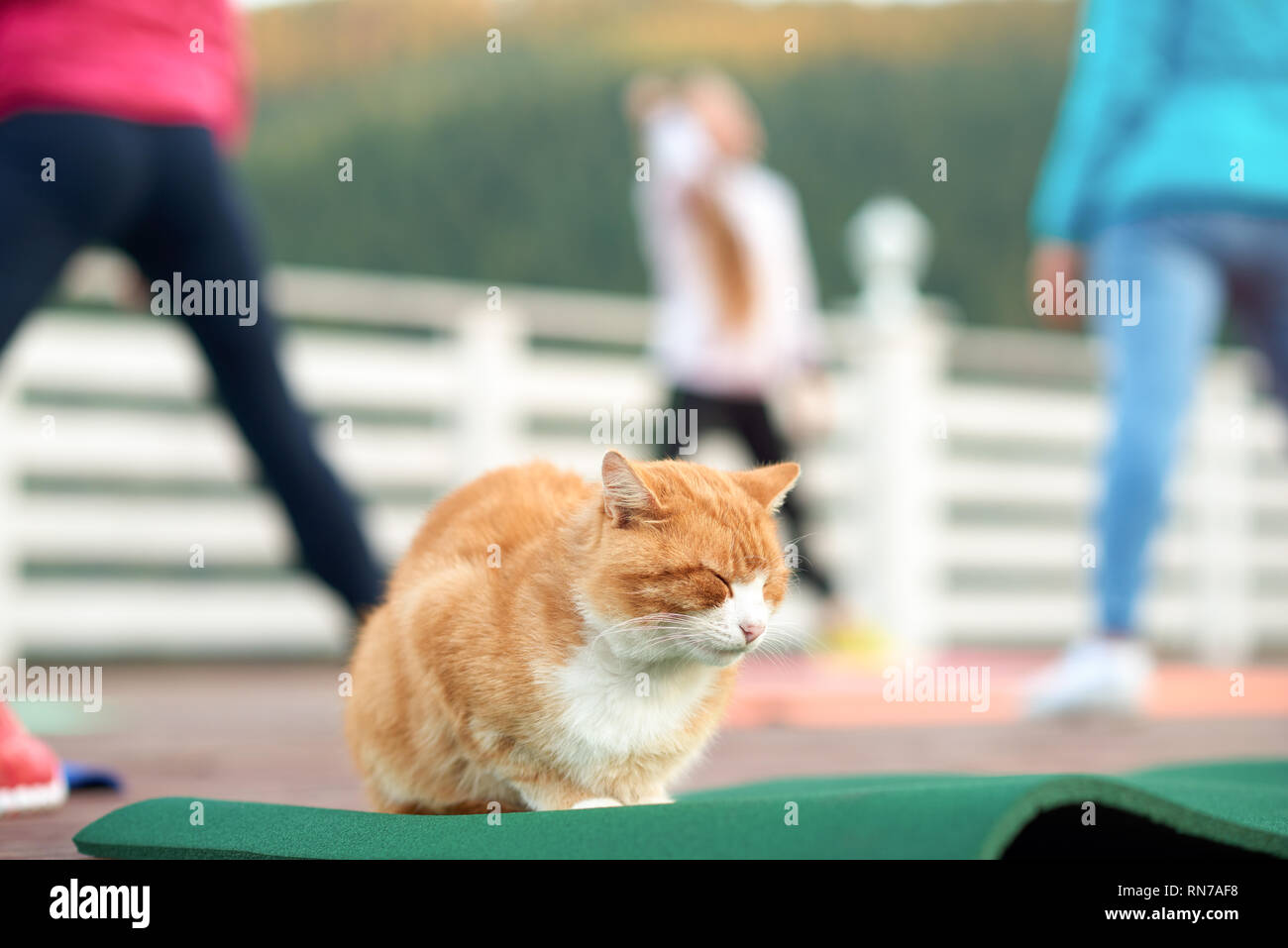 Peaceful cat sleeping while group of women training. Ginger and white cat sitting on yoga mat with closed eyes. People practicing and doing fitness or other sports. - Stock Image