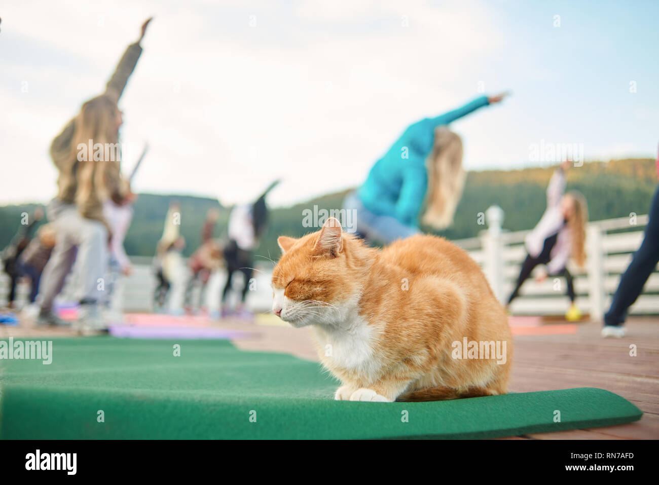 Ginger and white cat sleeping during fitness class. Peaceful cat sitting with closed eyes. Women training and practicing yoga or pilates on background. Group doing sports on fresh air. - Stock Image