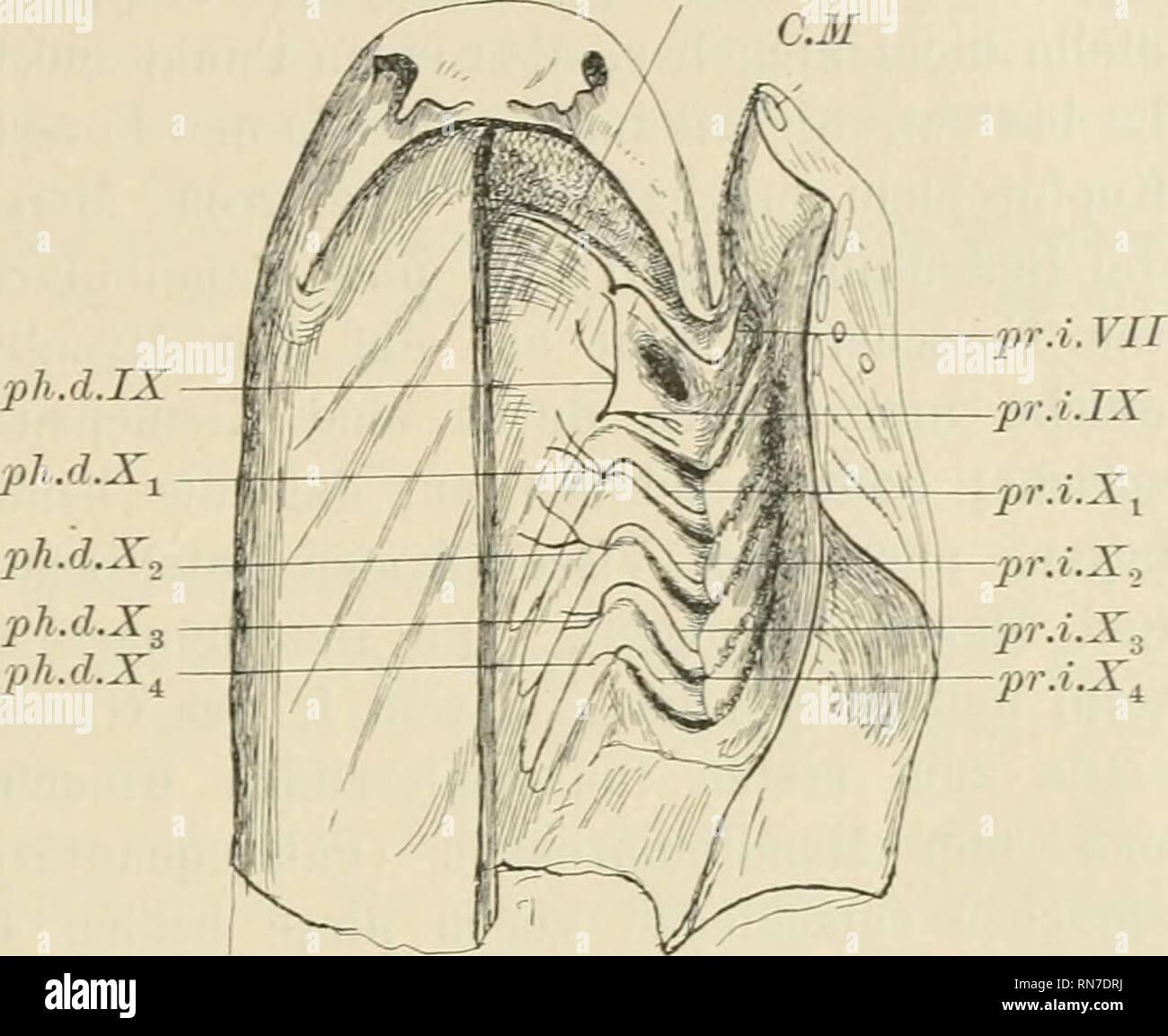 . Anatomischer Anzeiger. Anatomy, Comparative; Anatomy, Comparative. 493 Nerven bei Scyllium catulus dargestellt, und man sieht ihre Be- ziehungen zu den Kiemenbogen und -Spalten. Ebenso wie bei Acipenser sind die Rr. praetrematici interni beim Vagus (Fig.4, pr.i.X1—2ir.i.X1), Glossopharyngeus (Fig. 4, pr.i.IX) und Facialis (Fig. 4, pr.i. VII) wohl ausgebildet, obgleich die Praetrematici interni des Vagus feiner als bei Acipenser sind; dagegen ist der Pr. internus Glossopharyngei (Fig. 4, pr. i. IX) bei den Haien und Rochen nicht rudimentär wie bei Acipenser, sondern stellt auch beim erwachsen - Stock Image