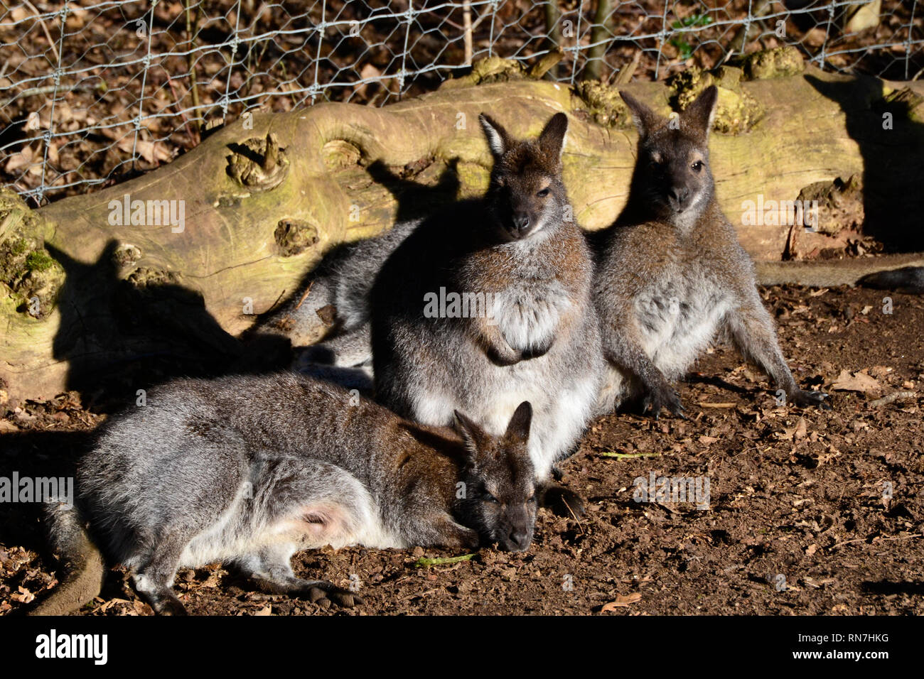 Wallaby Uk Wild High Resolution Stock Photography And Images Alamy