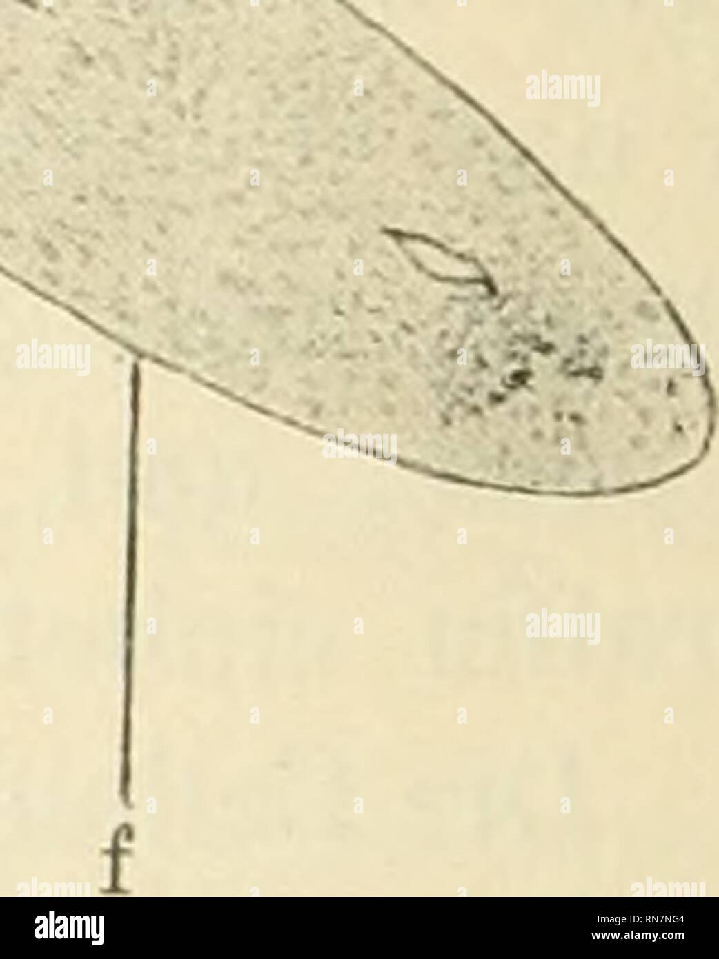 . Anatomischer Anzeiger. Anatomy, Comparative; Anatomy, Comparative. 174 Gefäßmuskulatur rosenrot; dagegen nimmt der Zellleib der Medullar- elemente das Eosin nicht an. Die beistellende Textfigur zeigt uns bei 5-facber Vergrößerung den Durchschnitt der Nebenniere eines 17-jährigen erschossenen Jünglings. Man sieht die Lage der Medullaris in zwei Haupt-. abteilungen a und 5, verbunden durch das Mittelstück c, zerstreute Gruppen der Medullarsubstanz bei e. Schon bei dieser schwachen Vergrößerung bemerkt man die Vermischung der Corticalis und Medullaris an der Stelle d und die vollständige Abwese - Stock Image