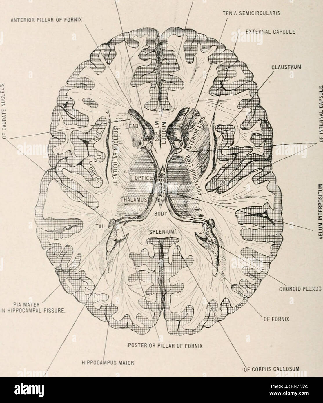 . Anatomy in a nutshell : a treatise on human anatomy in its relation to osteopathy. Human anatomy; Osteopathic medicine; Osteopathic Medicine; Anatomy. 366 ANATOMY IN A NUTSHELL. The arachnoid holds the tracts in position in the sulci. The dura mater covers the nerves and is continuous with the periosteum of the nasal fossa. The pia mater is continuous with the neurilemma. PLATE CLXXXYI. CuHNU OF LE.-T LATERAL VENTRICLE ANTERIOR PILLAR OF FORNIX ROSTRUM OF CORPUS CALLOSUM TENIA SEMICIRCULARIS EXTERNAL CAPSULE CLAUSTRUM. PIA MATER IN HIPPOCAMPAL FISSURE OF CORPUS CALLOSUM POSTERIOR CORNU OF LE Stock Photo