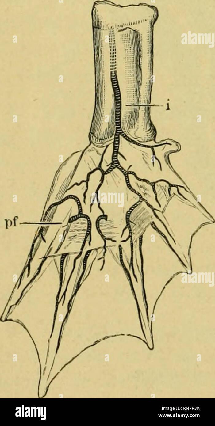 . The anatomy of the frog. Frogs -- Anatomy; Amphibians -- Anatomy. 240 THE VASCULAR SYSTEM. Fig. 158. the tibio-fibula and the M. peroneus to be distributed to the skin of the heeL Above it anastomoses with the A. circumjiexa genu inf. lateralis, and below with the malleolar arteries. d. The Art. malleolaris lateralis (v/t) arises a little beyond the last artery ; it raws outwards under the origin of the 31. flexor tarsi, gives branches to the joint and muscles, and terminates in the skin of the outer border and dorsal surface of the foot. e. The Art. maUeolaris medialis {in.m.) arises at abo - Stock Image
