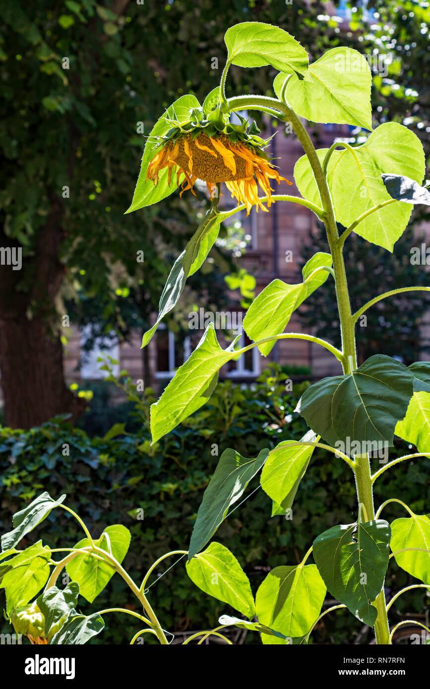 Strasbourg, Alsace, France, sunflower bending head downward, urban garden, - Stock Image