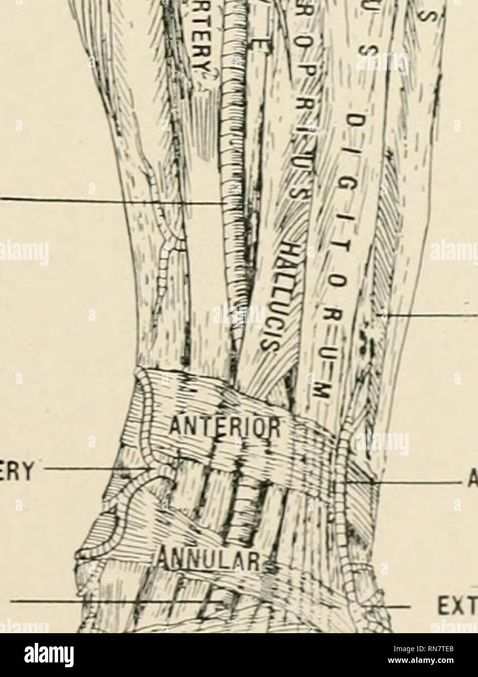 """. Anatomy in a nutshell : a treatise on human anatomy in its relation to osteopathy. Human anatomy; Osteopathic medicine; Osteopathic Medicine; Anatomy. SUPERIOR EXTERNAL ARTICULAR APTERY INFERIOR EXTERNAL ARTICULAR ARTERY GASTROCNEMIUS SOLEUS m i i til S ')°'i^^ l""""-i LONGUS H ANTERIOR TIBIAL ARTERY INTERNAL MALLEOLAR ARTERY. BREVIS TERTIUS ANTERIOR PERONEAL ARTERY M -AfilMLARi. >EDIS ARTERY- 