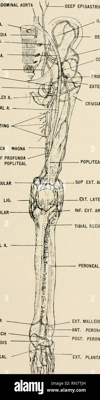 . Anatomy in a nutshell : a treatise on human anatomy in its relation to osteopathy. Human anatomy; Osteopathic medicine; Osteopathic Medicine; Anatomy. ABDOMINAL AORTA COMMON ILIAC A. SACRA MEDIA INTERNAL ILIAC A. EXTERNAL ILIAC A. OBTURATOR A. SCIATIC A. PUDIC ARTERY INTERNAL CIRCUMFLEX A SUPERFICIAL FEMORAL A. PERFORATING ANASTOMOTICA MAGNA TERMINAL BRANCH OF PROFUNDA ANASTOMOSING WITH POPLITEAL SUP. INT. ANT1CULAR INT. LATERAL UG. INF. INT. ARTICULAR POPLITEAL SOP EXT. AflTICULAR POST. TIBIAL A. INT. MALLEOLAR TARSAL BRANCH DORSALIS PEDIS METATARSAL. PLATE LXXII. DEEP EPIGASTRIC A LIO LUMB - Stock Image